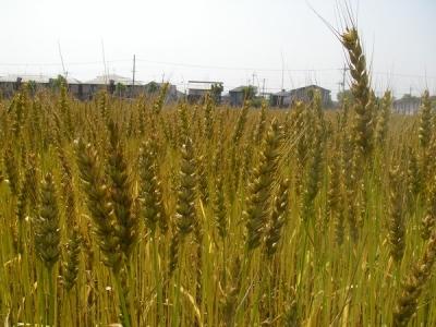 小麦の刈り取りまでもう少し