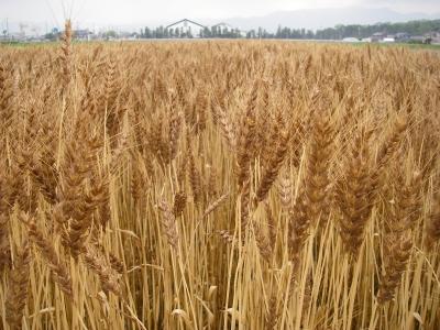 小麦刈取り終了