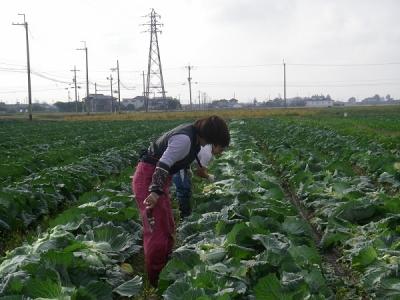 キャベツ収穫風景